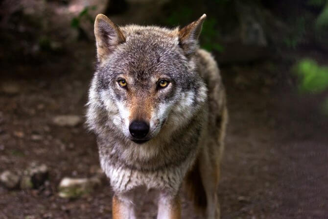 クロノ タイプ オオカミ